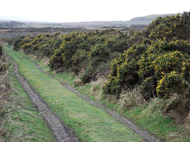 Gorse hedge in flower