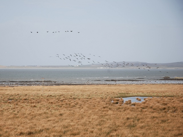 Geese over Lochindaal