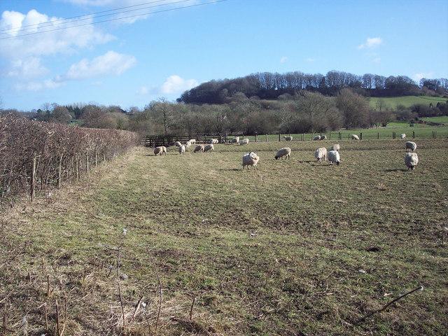 Grazing sheep near Panters Bridge, Fovant