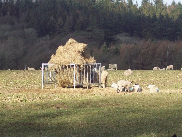 Sheep feeding near the Wessex Ridgeway