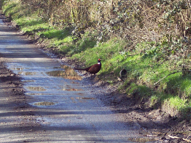 Cock pheasant near Beacon Hill