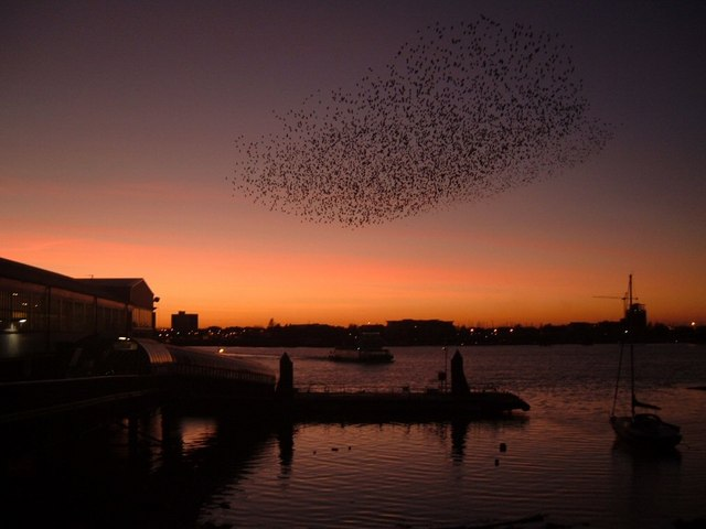 Starling roost Portsmouth Harbour