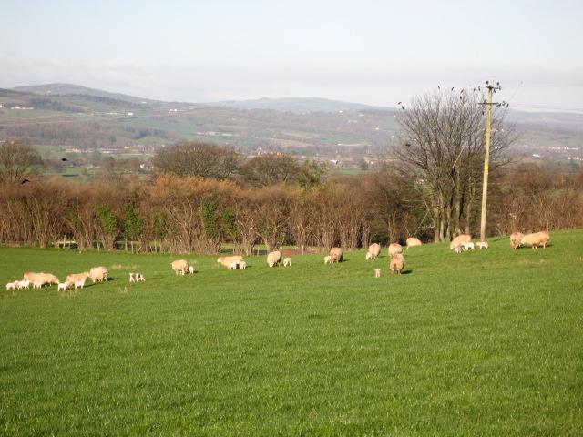 Sheep at Llwynedd