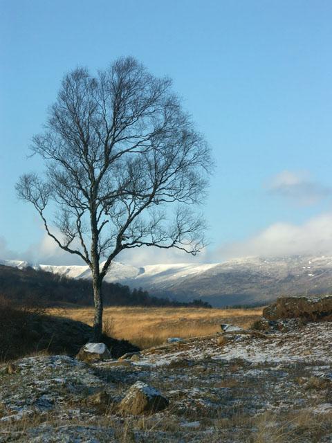 Fine birch tree