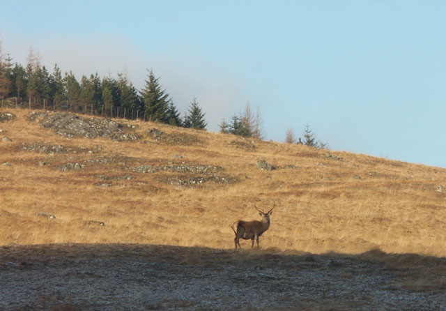 Stag in the landscape near Coille Doir-ath