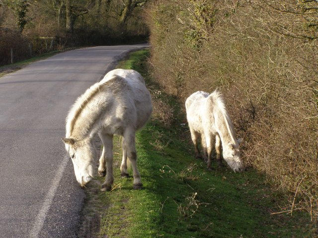 Ponies grazing on the verge, Salternshill, Beaulieu Estate