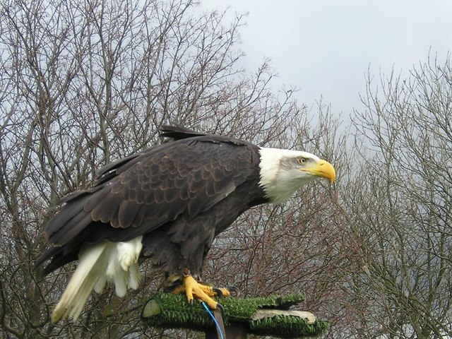 Alaska the Bald Eagle at Eagle Heights