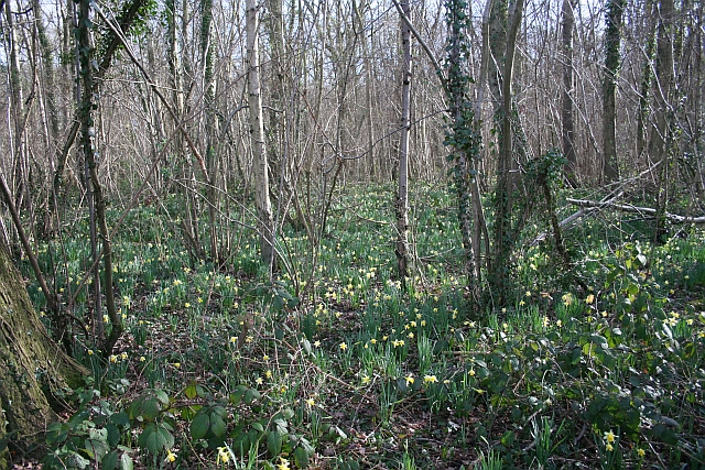 Daffodils in Hall Wood