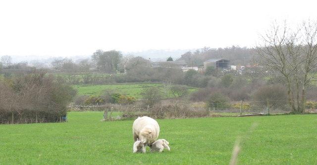 Merino ewe and lambs at Ty'n Rhos