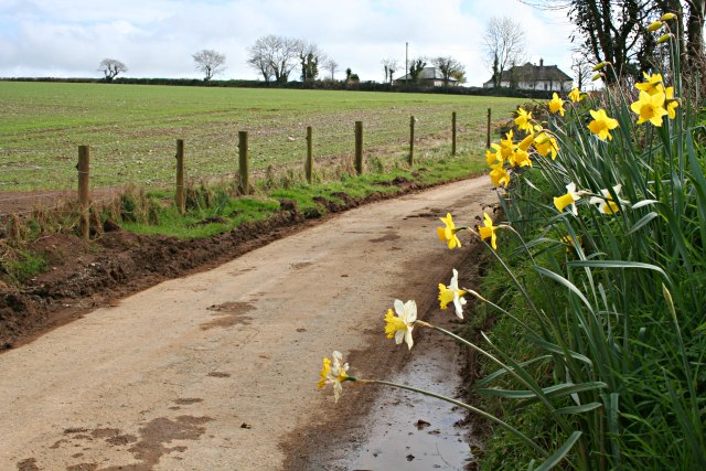 Daffodils and Spring Crops on the road through Newton Farm.