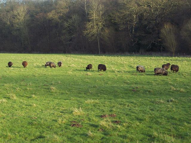 Black sheep near Horse Shoe Bridge