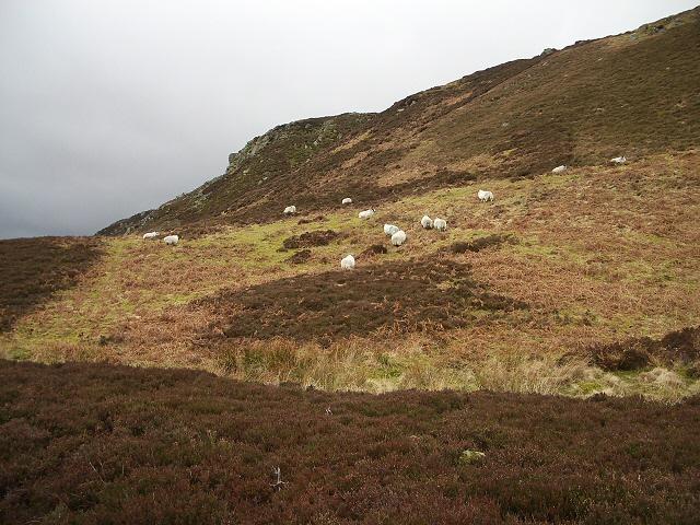 Sheep on Creag na Criche