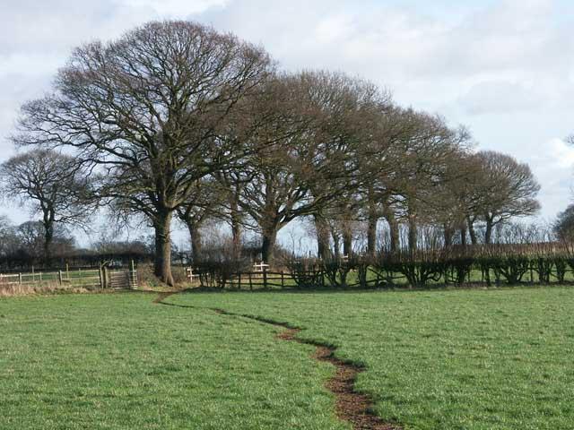 A fine line of trees near Morleymoor farm