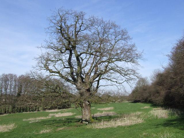 A Gnarled Old Oak