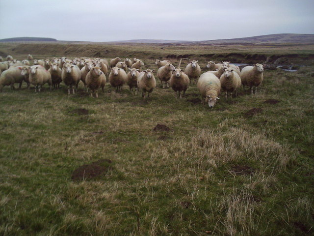 Sheep sheltering in the Valley of the North Medwin