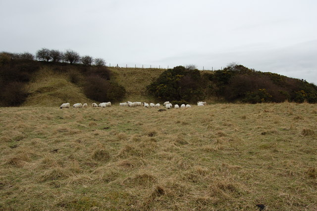 sheep sheltering in Moorsley Quarry