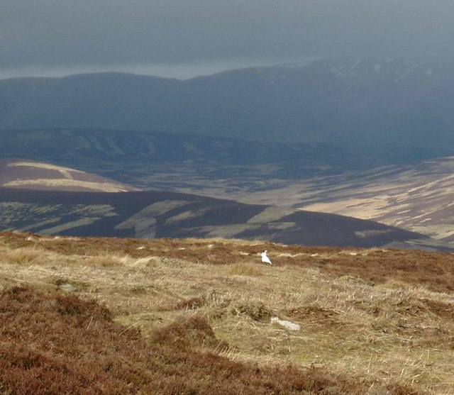 Mountain hare on Long Goat