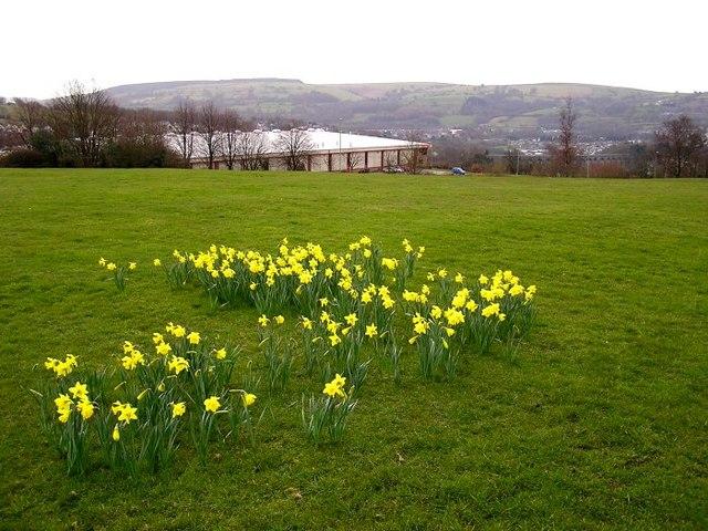 Daffodils in Pontllanfraith