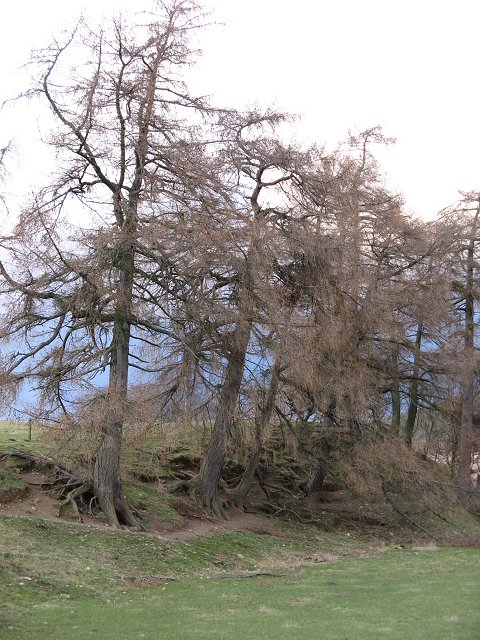 Larches near the Newton Burn