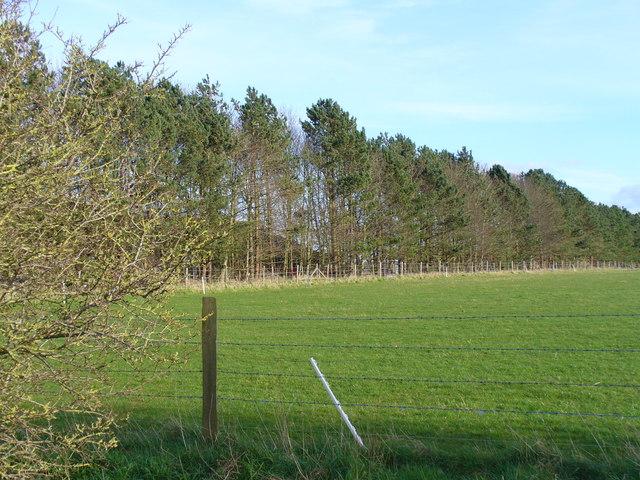 Shelter Belt South of Maddington Farm