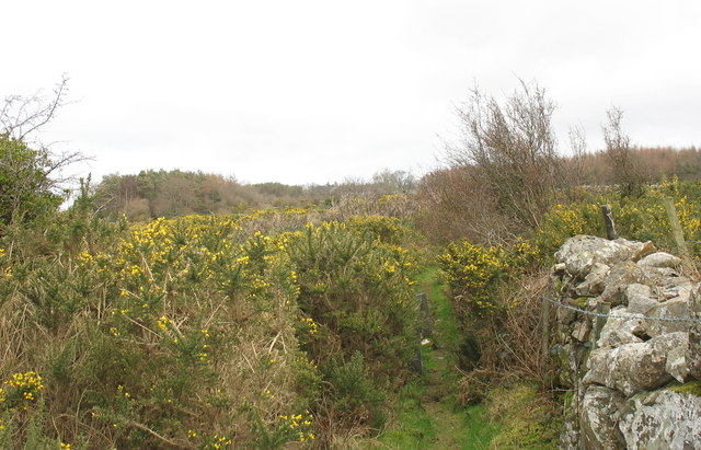Spreading gorse threatens to choke the path