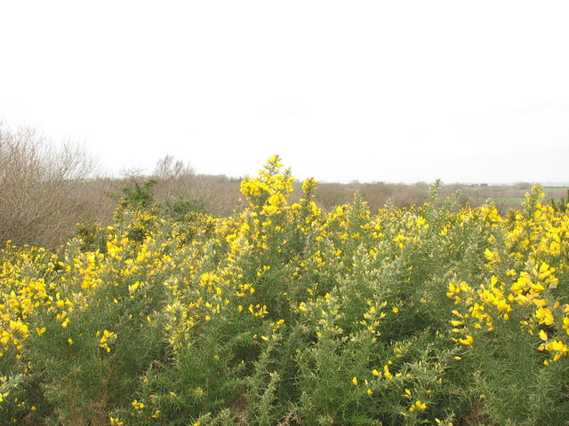 Whether called eithin, gorse, furze or whin it remains equally impenetrable and irradicable