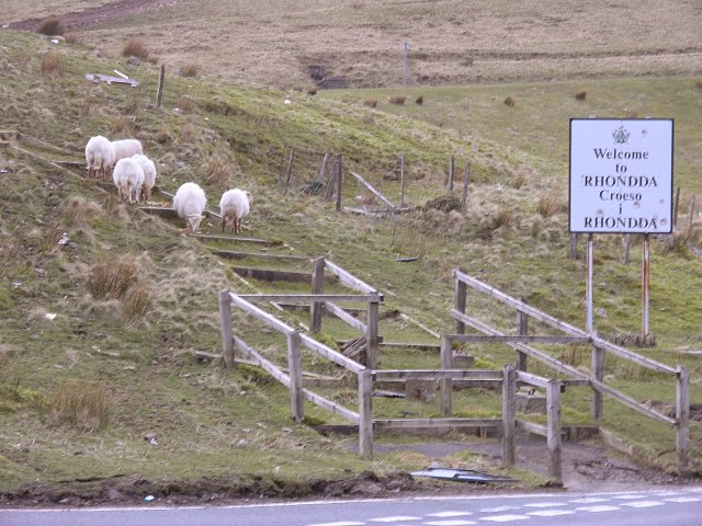Amiable Sheep