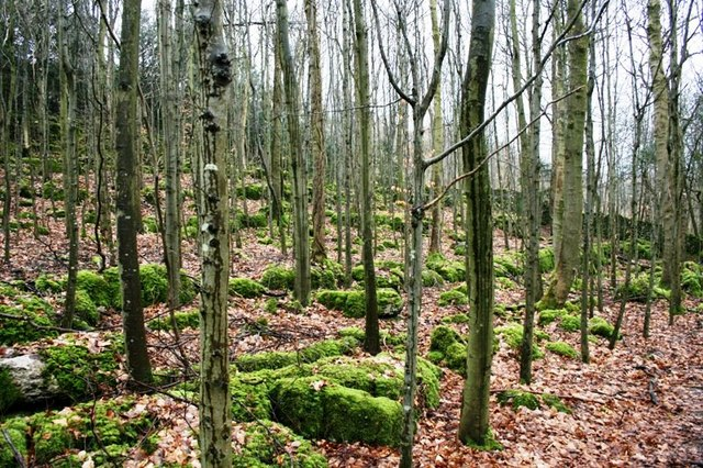 Limestone, Beech Wood
