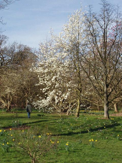 Star magnolia in Kew Gardens