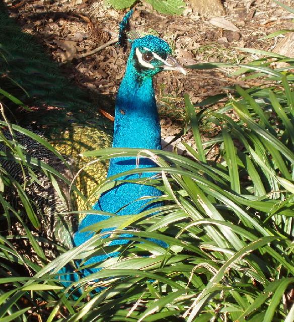 Peacock at Kew Gardens