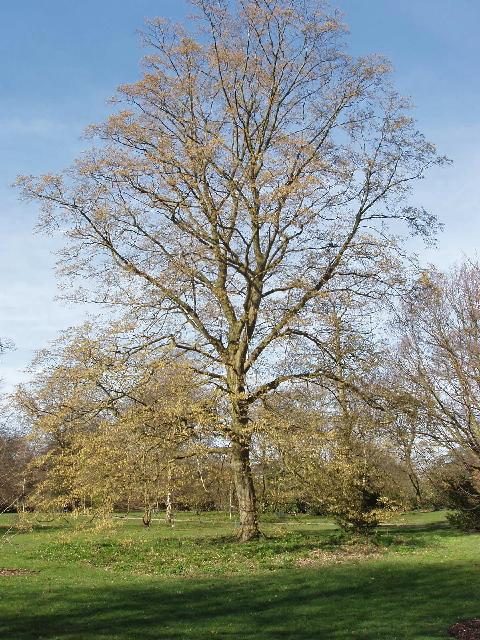 Hornbeam, Carpinus Betulus, at Kew