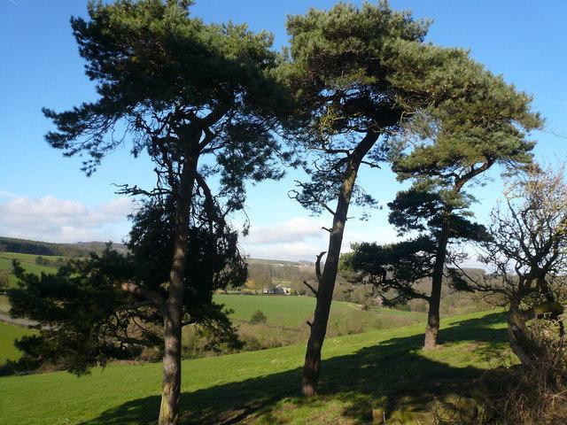 View through Pines across Birkin Lane (Lower Left)