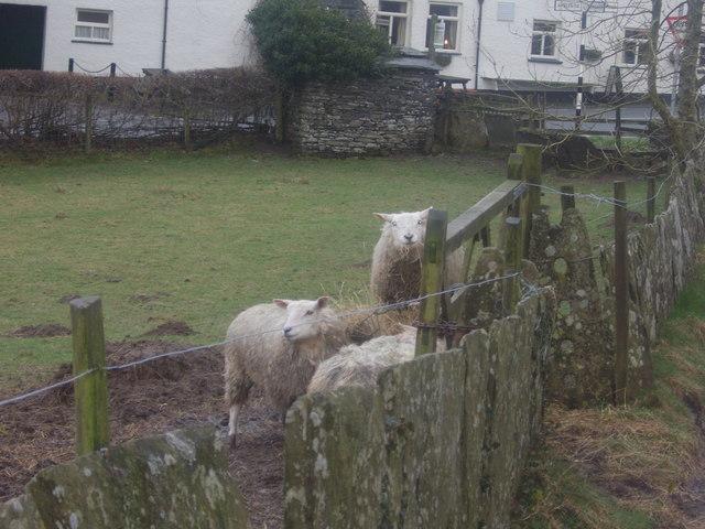 Outgate sheep