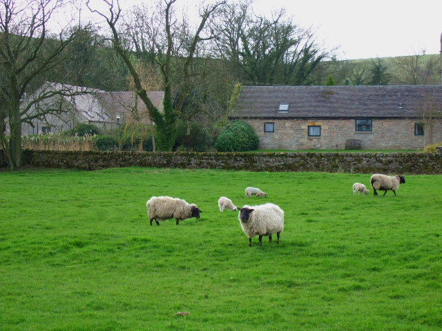Sheep and converted barn at Blore