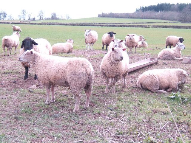 Sheep near Shetton Farm