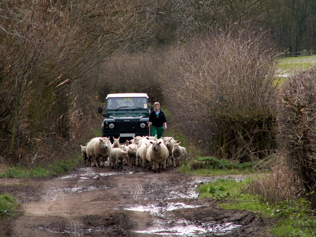 Moving sheep to greener pastures