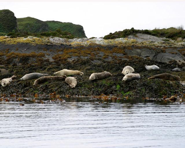 Seals on Sgeirean a' Mhaoil