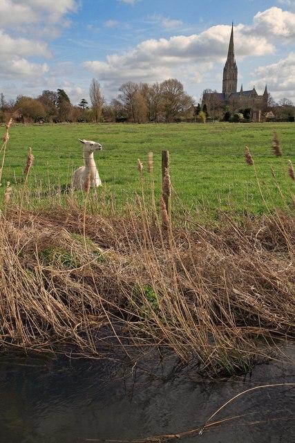 Llama in Salisbury water meadows