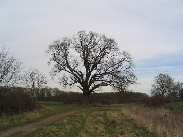 Oak at bend in the 'Clay Dick' track