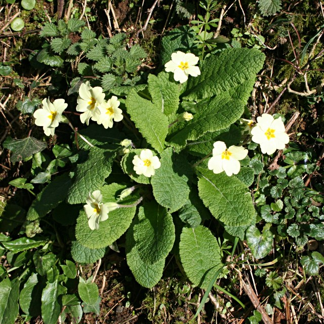 Primrose on the Hedgebank