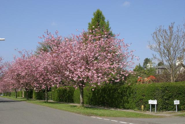 Cherry Trees Helensburgh
