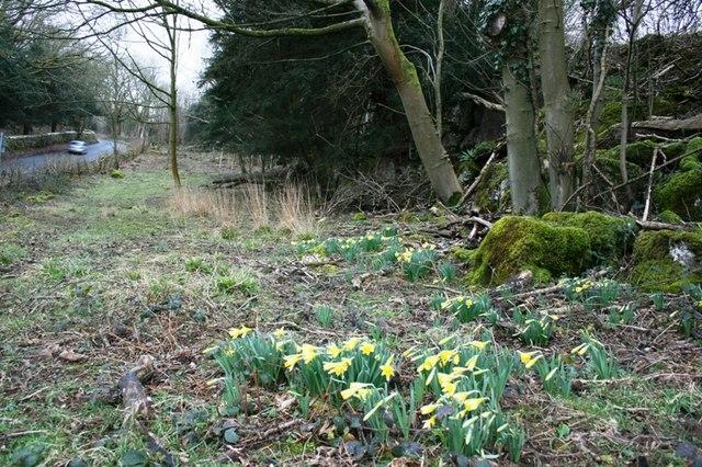 Roadside Daffodils, Near Thrang End
