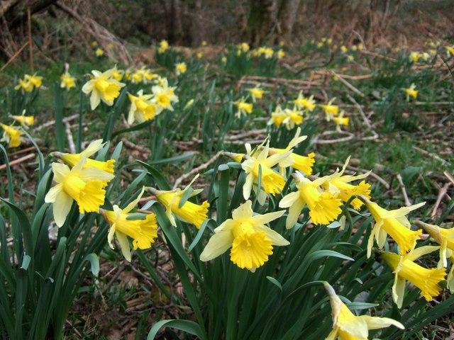 Wild daffodils in Dunsford Wood
