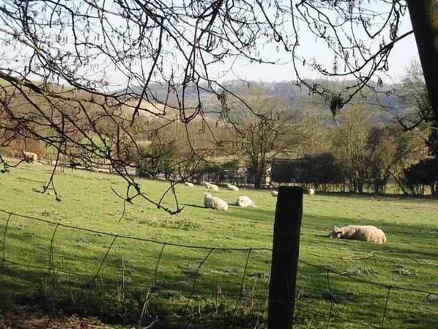 Sheep in lamb, or enjoying the sun