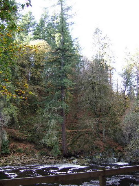 Scotland's tallest tree