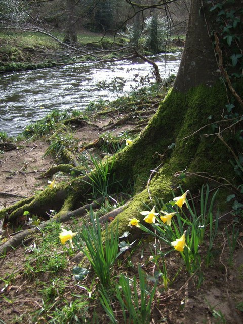 Daffodils by the Teign
