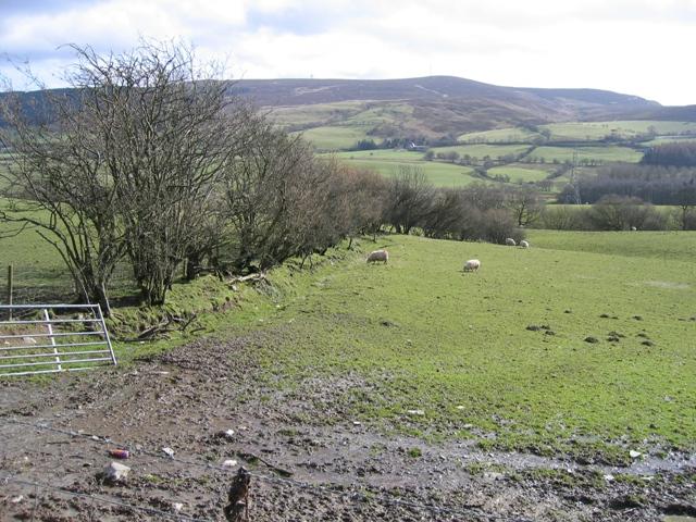 Hedge Line and Sheep Pasture