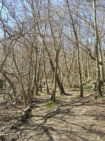 Young Birch Wood on the North Downs Way