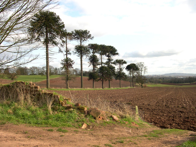 Monkey Puzzle Trees, Hawkswell Rough, near Wombourne, Staffordshire