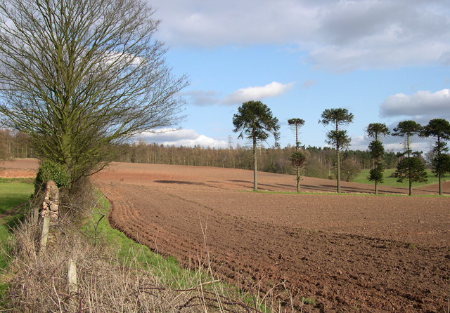 Ploughed Field and Monkey Puzzles, Hawkswell Rough